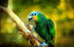 Попугай амазон: описание, уход и содержание в домашних условиях
