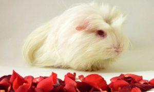 Воняют ли морские свинки и почему: возможные причины появления неприятного запаха