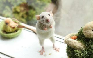 Во что и как можно поиграть с домашней крысой