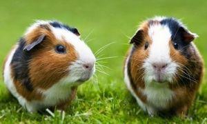 Как видят морские свинки наш мир