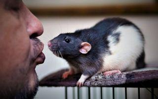 Cтоимость домашних крыс в зоомагазинах и на рынках