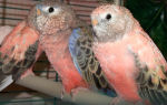 Розовобрюхий попугай: уход и содержание