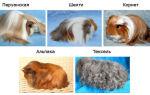 Самые популярные породы морских свинок