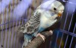 Полиурия у попугая: как выявить и чем лечить