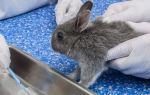 Симптомы и лечение эймериоза кроликов