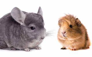 Делаем выбор между шиншиллой и морской свинкой в качестве домашнего питомца