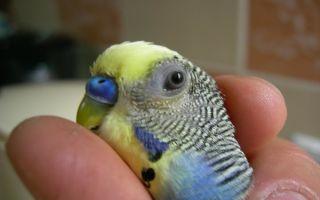 Как видит попугай наш мир: особенности зрения