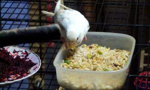 Какие каши можно включать в рацион волнистых попугаев