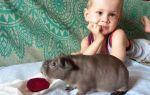 Бывает ли аллергия на морских свинок: как определить и вылечить