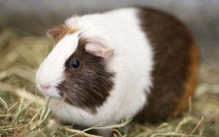 Особенности беременности и родов у морских свинок