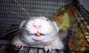 Могут ли крысы смеяться и как именно