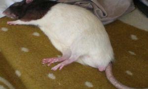 Домашняя крыса умирает: признаки и причины