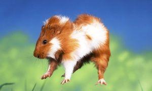 Почему морская свинка прыгает по клетке и дергается