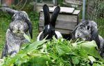 Чистотел для кроликов: он полезен или вреден?