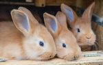 Бургундский кролик: описание, особенности и содержание