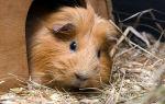 Понос у морской свинки: что делать и чем лечить?