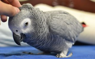 Попугай Жако: полная информация об уходе и содержании в домашних условиях
