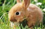 Можно ли давать кроликам овёс