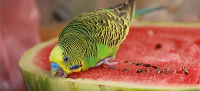 Можно ли давать попугаю арбуз, почему и сколько