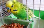 Что едят волнистые попугаи и как правильно кормить птиц