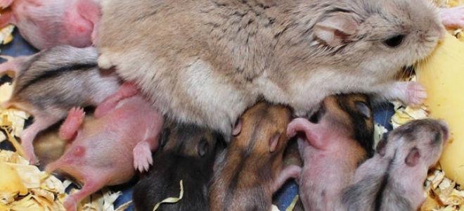 Беременность у хомяков: выявление, продолжительность, уход и другие вопросы