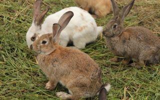 Как выглядит кролик