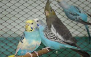 Волнистый попугай и корелла вместе
