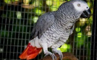 Сколько лет живут попугаи жако и как продлить срок жизни