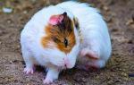 Почему морская свинка чешется и что с этим делать
