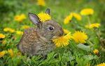 Можно ли давать одуванчики кроликам