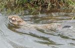 Кто такой водяной кролик: места обитания и образ жизни уникального зверька с необычными способностями