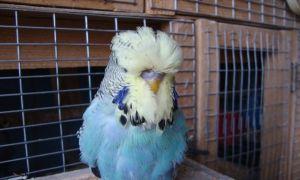 Волнистый попугай Чех: как выглядит, чем кормить и как ухаживать, продолжительность жизни