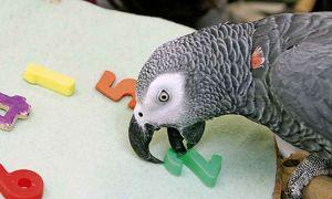Самый умный попугай в мире: какая порода обладает более высоким интеллектом?