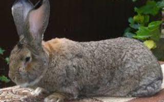 Самая крупная порода кроликов — Обер