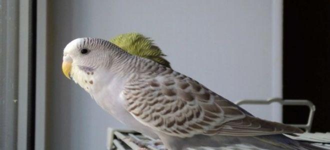 Популярные окрасы волнистых попугайчиков для домашнего содержания