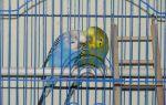 Могут ли жить два волнистых попугая в одной клетке