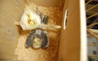 Правильное изготовление и обустройство гнезда для попугая кореллы