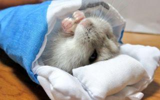 Спячка у хомяков: как часто это бывает и стоит ли будить