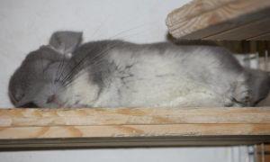 Как спят шиншиллы днем и ночью, что нужно знать о режиме сна