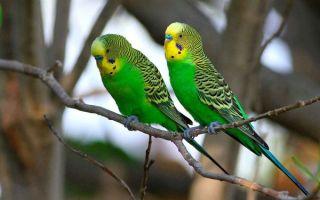 Сколько лет живут попугаи и как продлить срок жизни