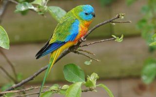 Травяной попугай: популярные виды, уход и содержание