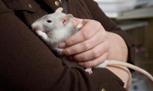 Плюсы и минусы содержания декоративной крысы в доме