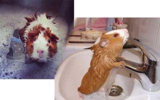 Как правильно купать морскую свинку в домашних условиях