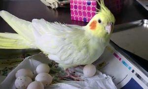 Что делать, если корелла снесла яйцо без самца