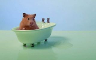Можно ли купать хомяка в воде в домашних условиях и как это делать