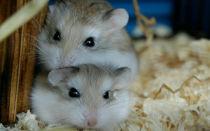 Размножение хомяков в домашних условиях: правила и рекомендации