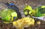Активированный уголь для попугаев: можно ли давать, сколько и когда