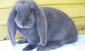 Описание кроликов породы французский баран