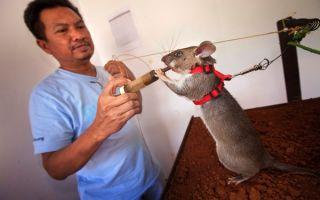 Гамбийская хомяковая или сумчатая крыса