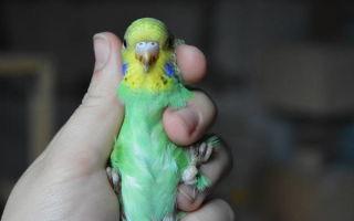 Как правильно определить пол взрослого волнистого попугая и птенца